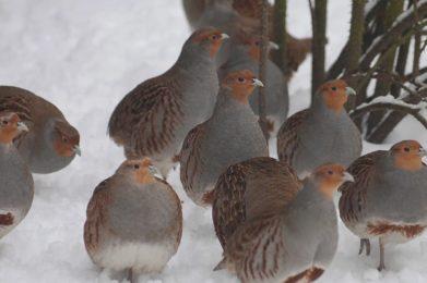 agerhoens-i-sneen-alex-nissen