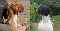 Planlagt parring mellem Fugledes Dina og Black Luckys Frans-Hugå