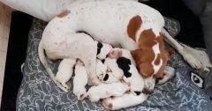 Isa med nyfødte hvalpe